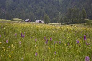 prato fiorito dell'Alpe Devero