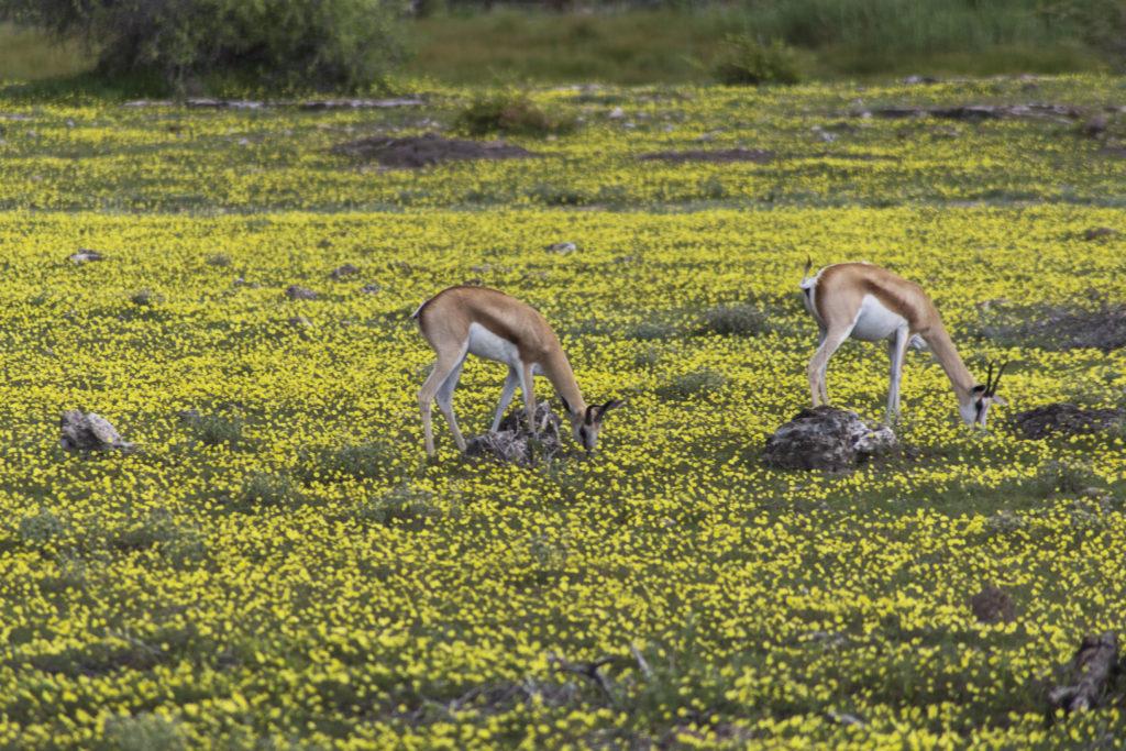 Antilopi in prato fiorito