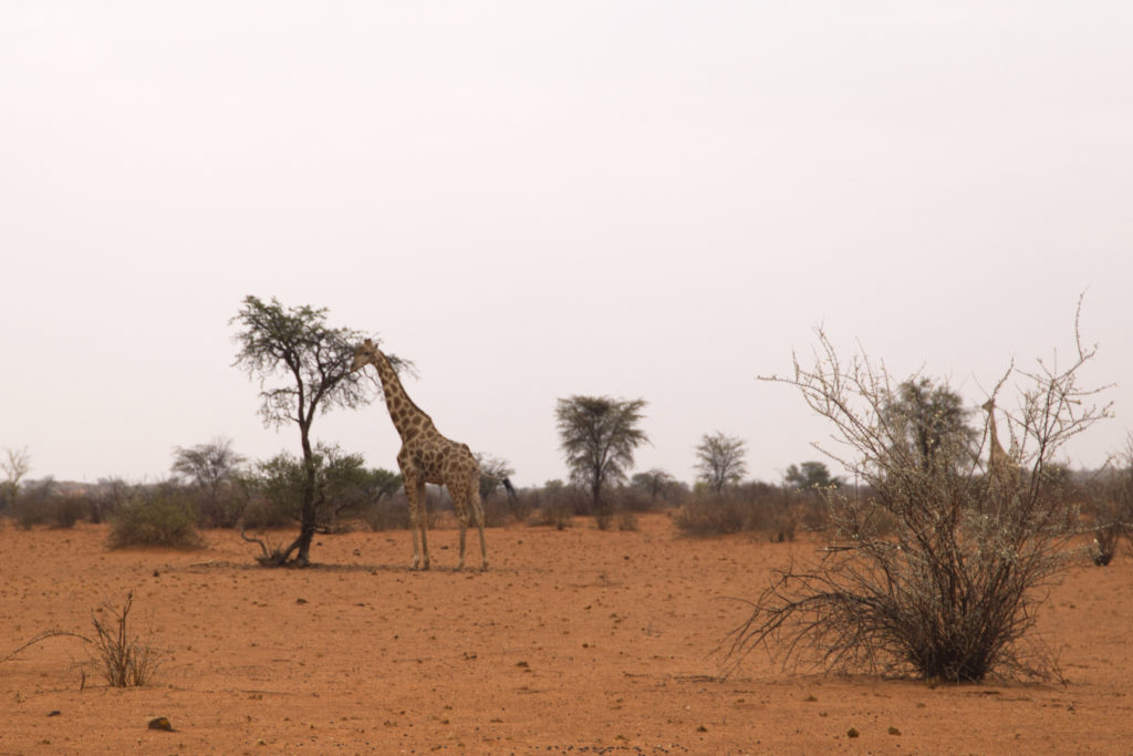 giraffa deserto del Kalahari