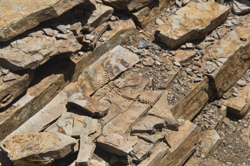 fossile di mesosauro