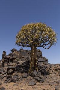 albero faretra