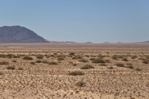 cavalli selvaggi del Namib