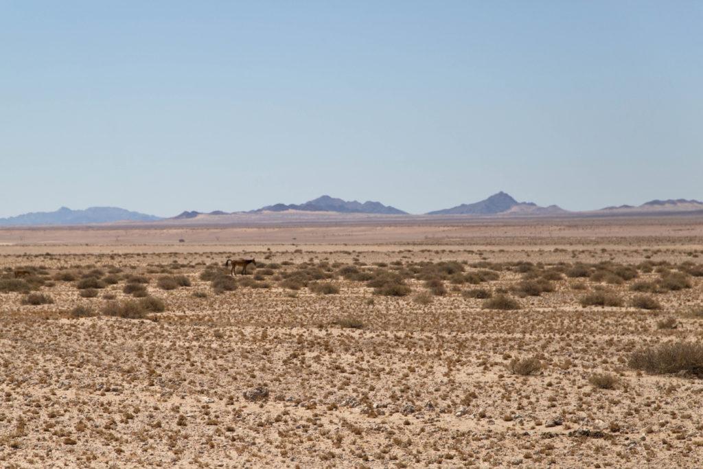 Cavallo selvaggio del Namib