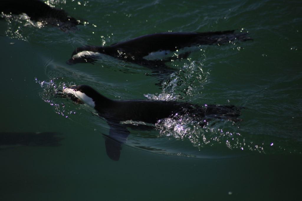 pinguini che nuotano