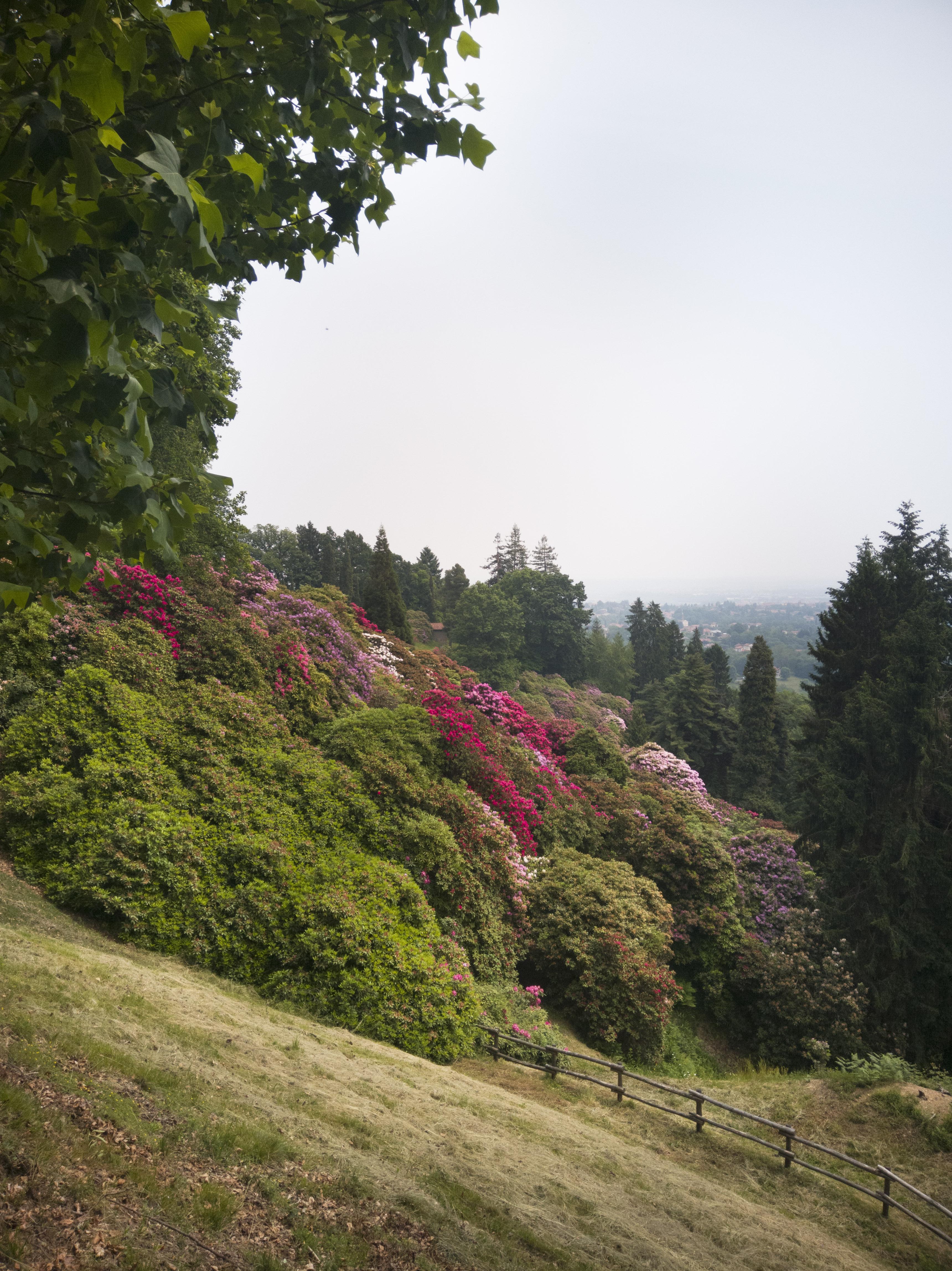 fioritura rododendri parco della Burcina