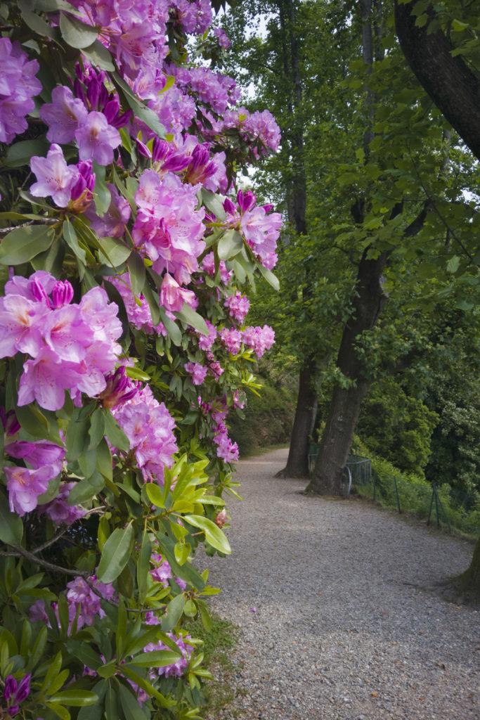 rododendro rosa in fiore