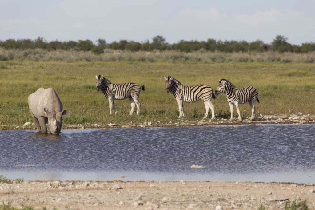 Rinoceronte e zebre allo stagno