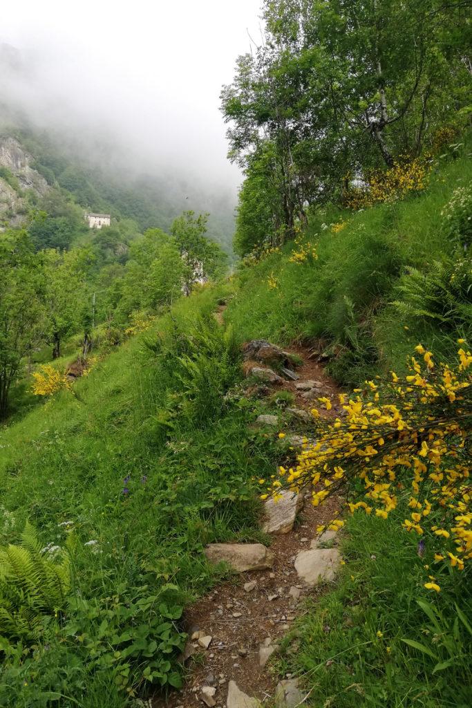 Sentiero alpino con ginestre fiorite