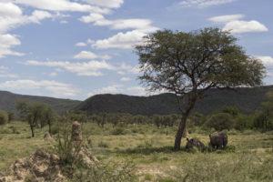 rinoceronti all'ombra