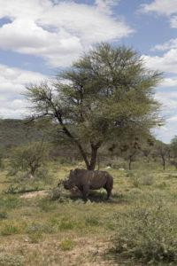 Rinoceronte bianco sotto albero