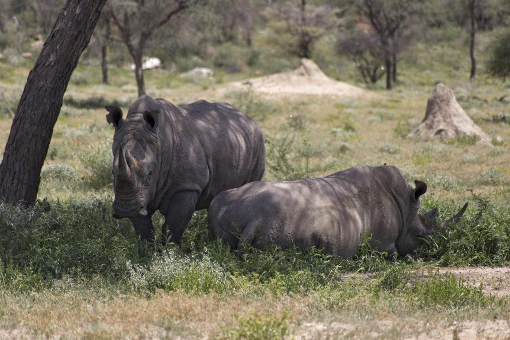 Coppia di rinoceronti bianchi