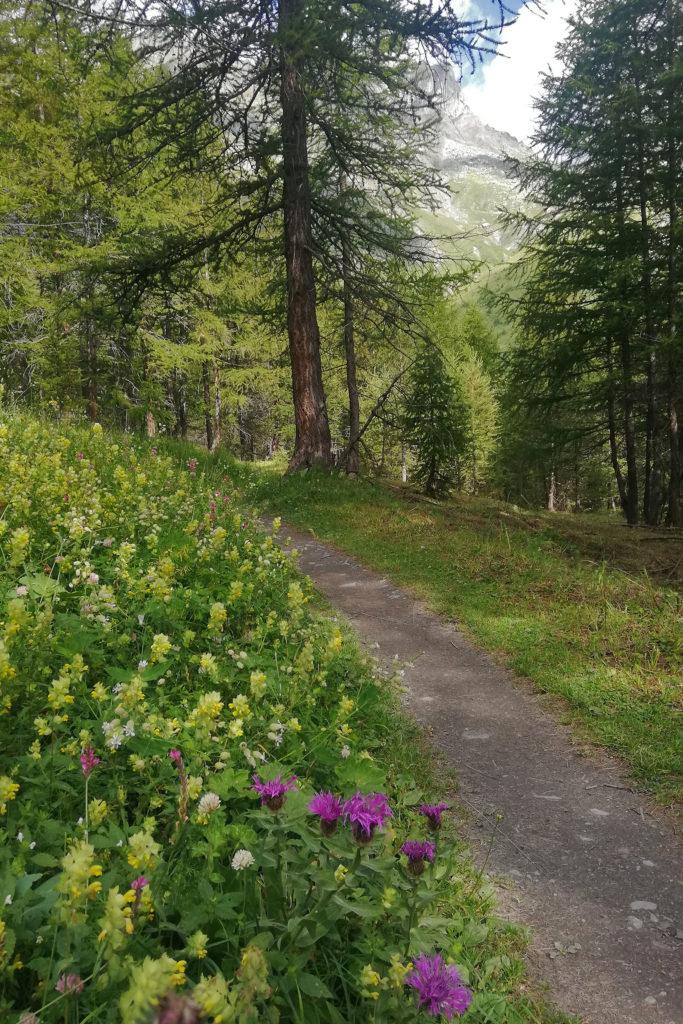 Sentiero in lariceto