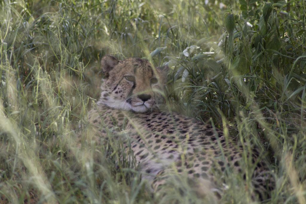 ghepardo okonjima