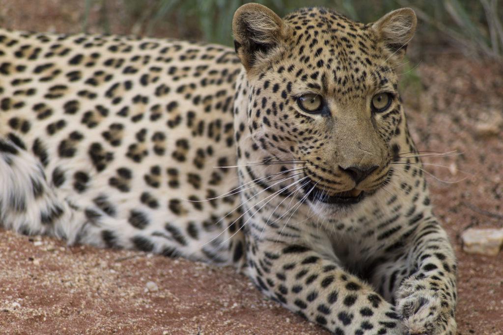 Leopardo vigile