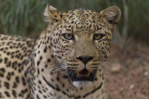 Leopardo primo piano