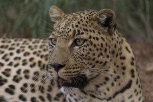 sguardo di leopardo