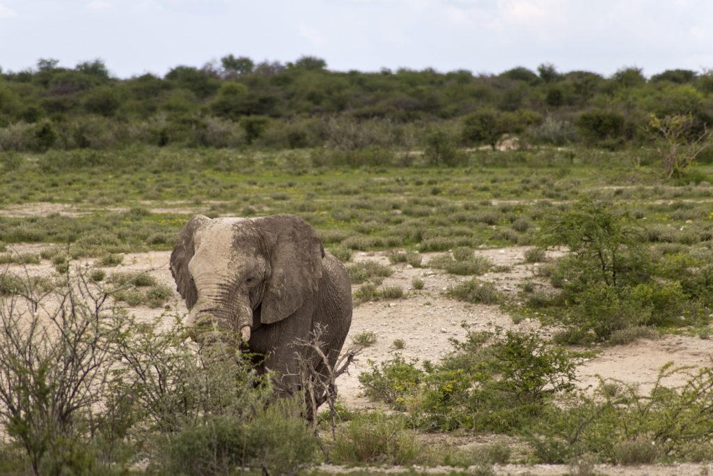 elefante tra arbusti