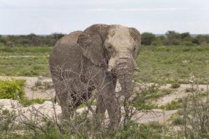 Elefante parco nazionale Etosha