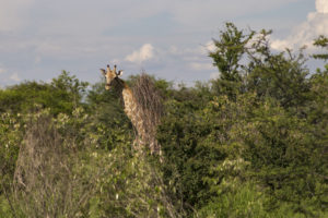 giraffe tra gli alberi