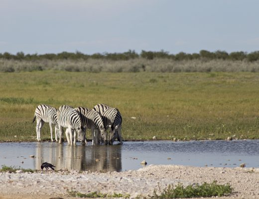 zebre che bevono in uno stagno