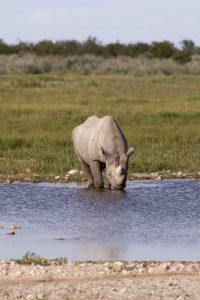rinoceronte nero che beve