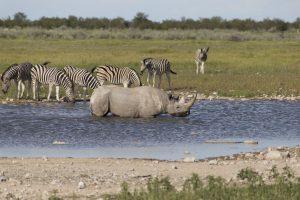 rinoceronte nero nello stagno