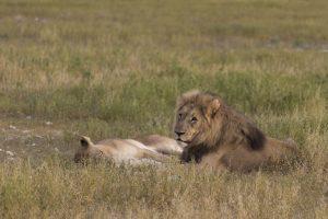 leone e leonessa nella savana