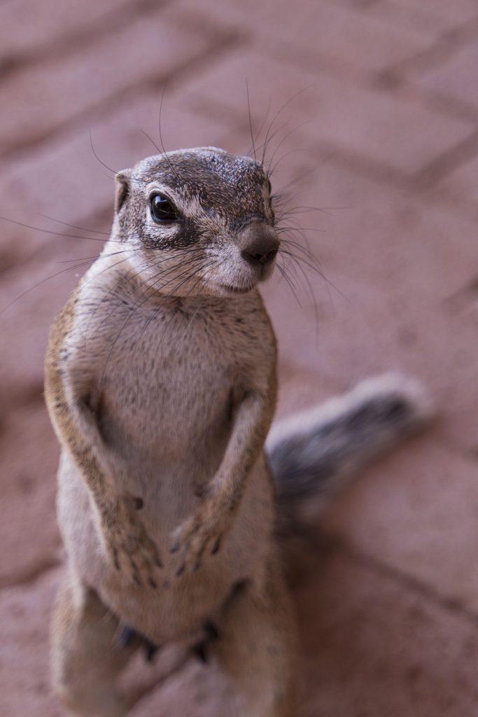 scoiattolo africano