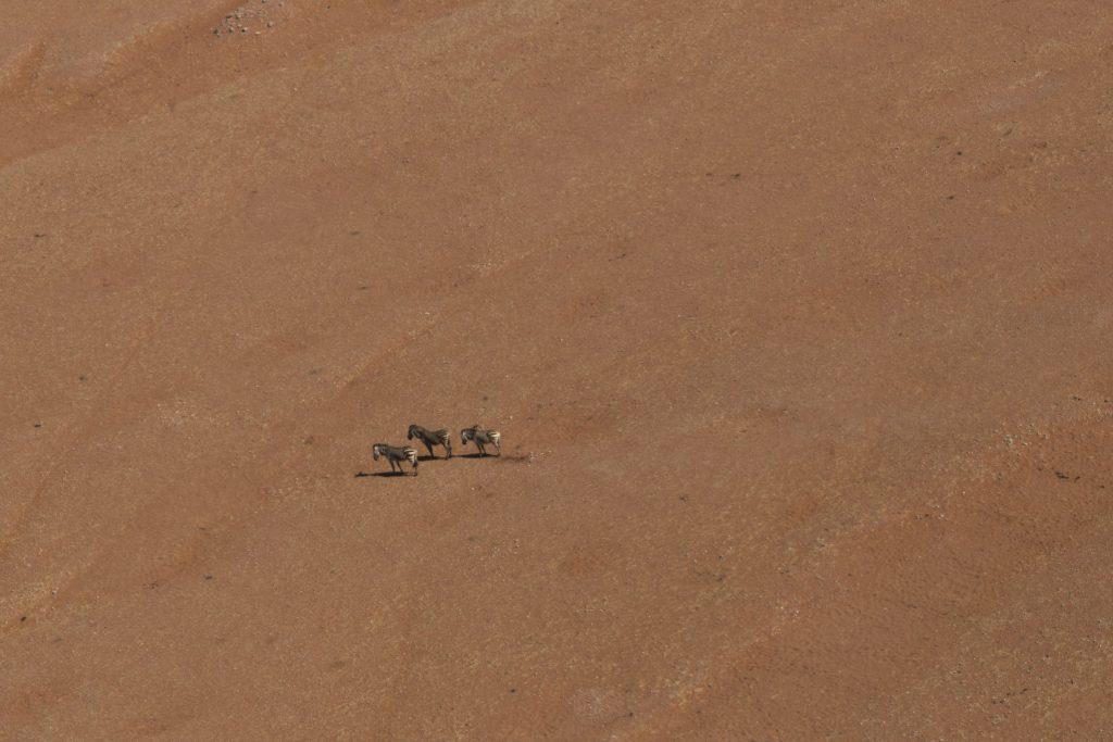 zebre nel deserto