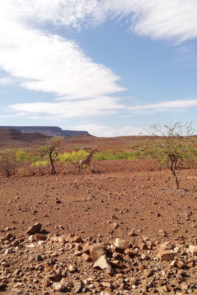 giraffa in deserto roccioso